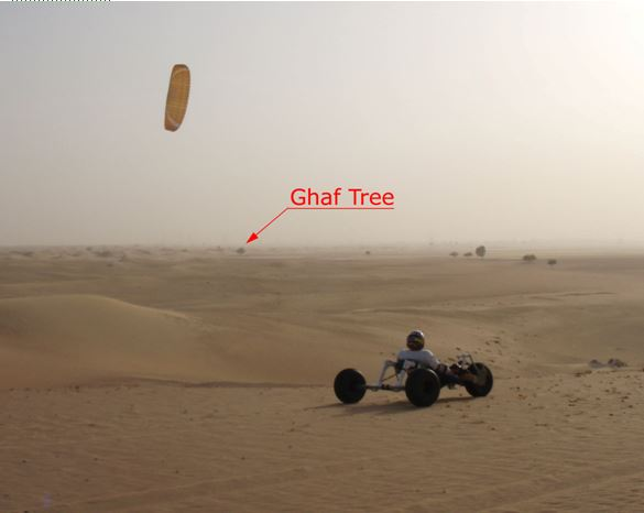 A welcome  view of the Ghaf Tree